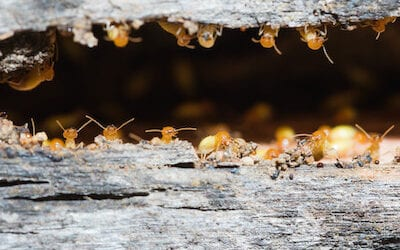 Termite Damage: Just How Much Can They Cause?