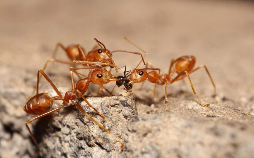 Fire Ant Control: How to Tell If You Have Fire Ants